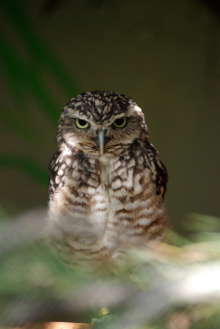 Free owl bird wildlife portrait prey eyes