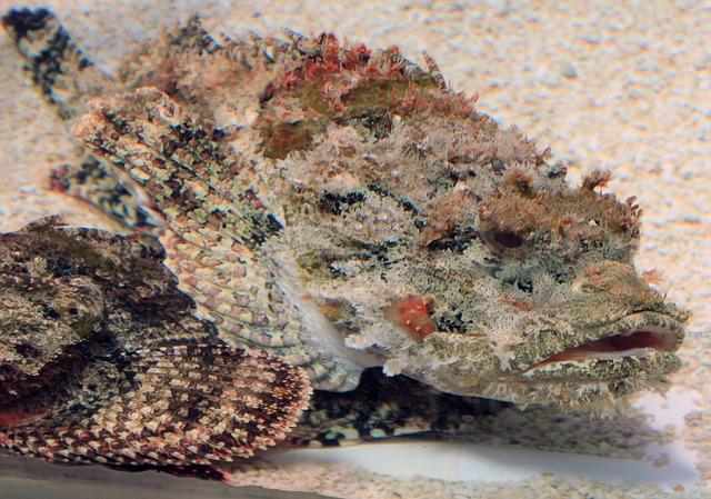 Free scorpion fish fish poisonous animal
