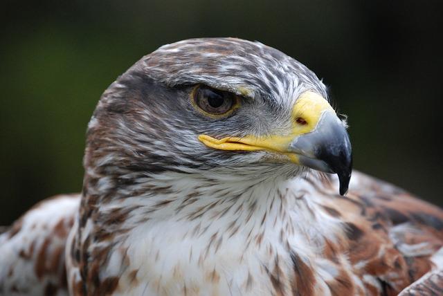 Free eagle bird prey close up majestic