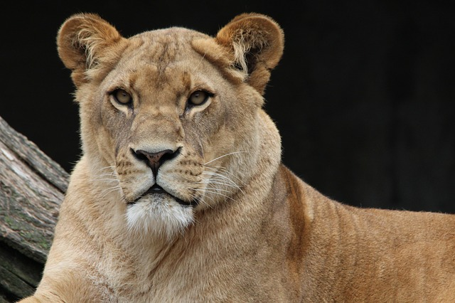 Free               lion panthera leo lioness animal world africa