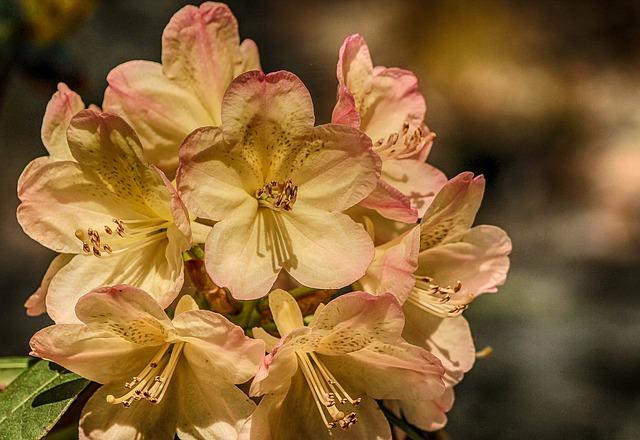 Free azalea genus rhododendron flowers shrub bush pink