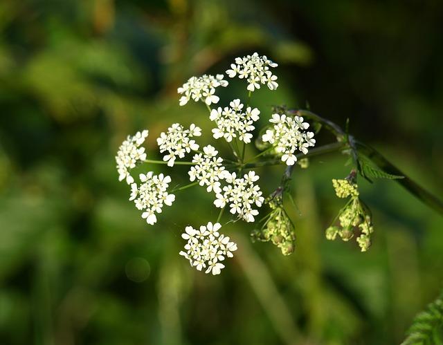 Free yarrow flower pointed flower wild flowers