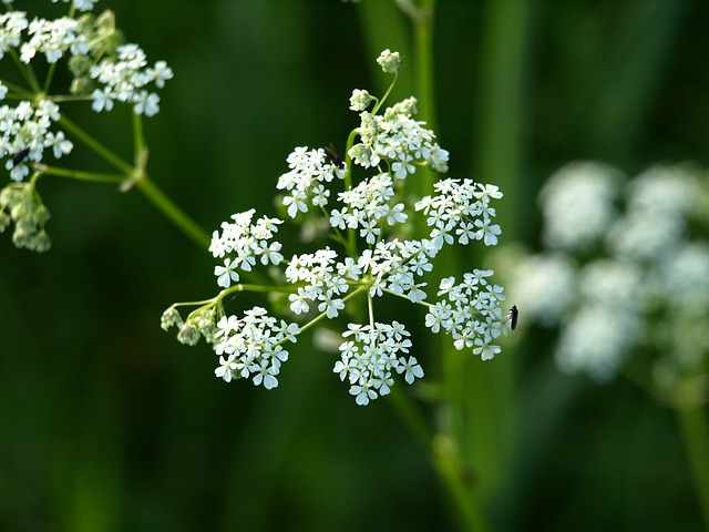 Free yarrow flower white pointed flower