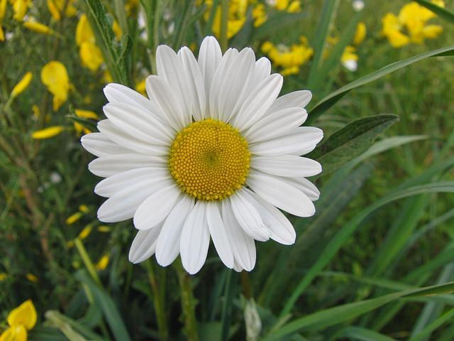 Free marguerite daisy yellow white bloom flower plant