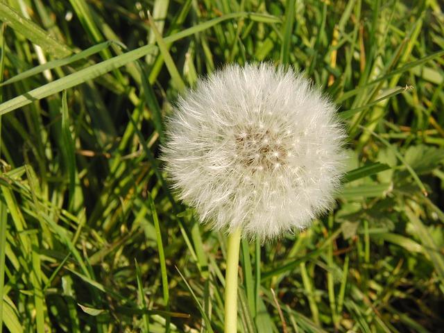 Free dandelion common dandelion flower pointed flower