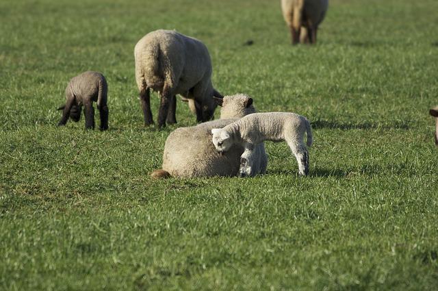 Free sheep lambs pasture flock passover flock of sheep