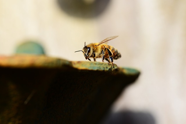 Free Photos: Honey bee water buckfast insect honey bee wings | PollyDot