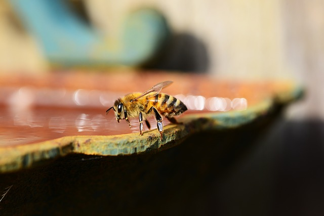 Free honey bee water buckfast insect honey bee wings
