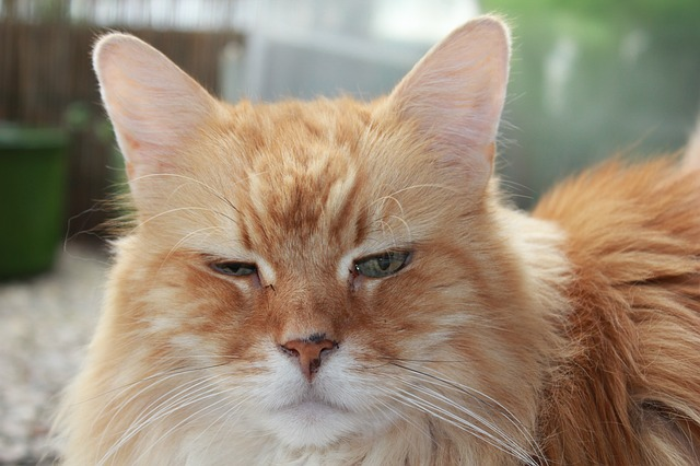 Free hangover cat red red tabby face close animal