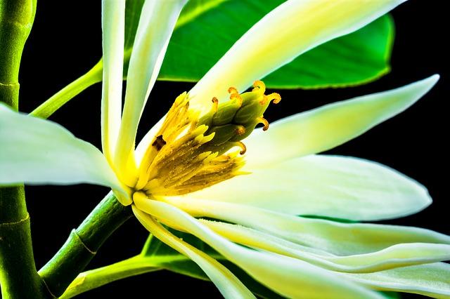 Free michelia champaca blossom flower white yellow