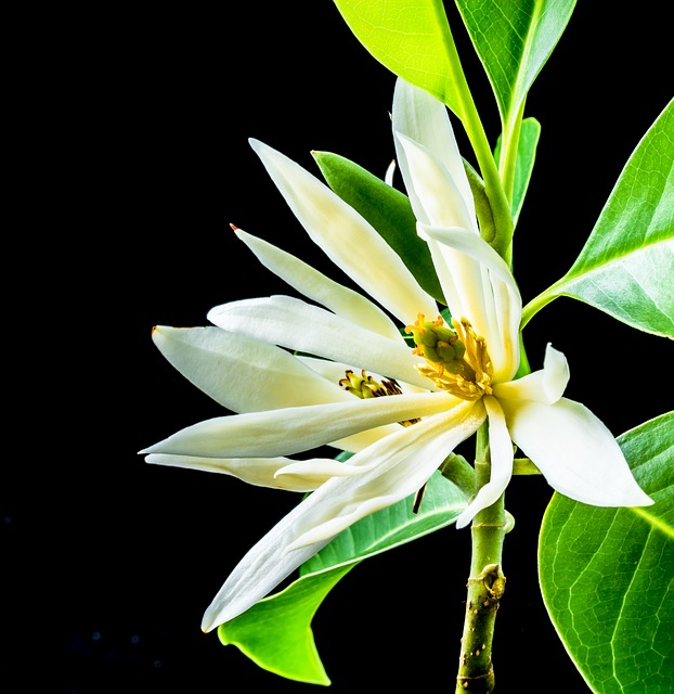 Free michelia champaca blossom flower white yellow