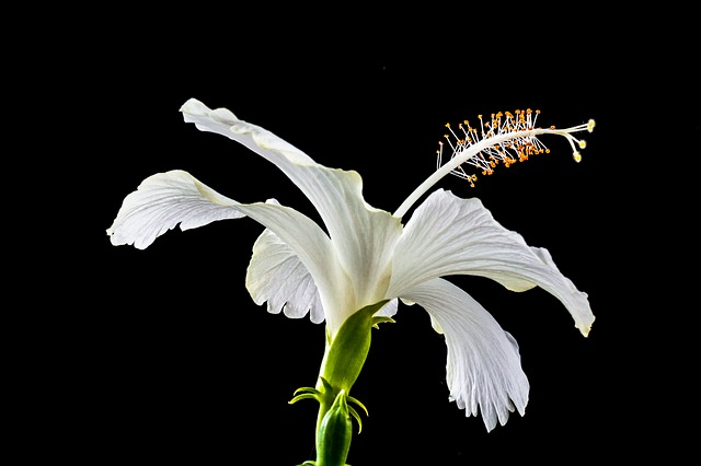 Free hibiscus flower white marshmallow mallow malvaceae