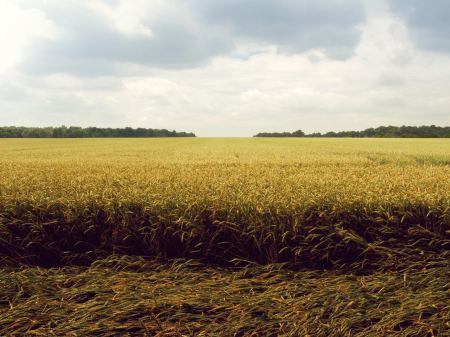 Free Laid wheat in a field