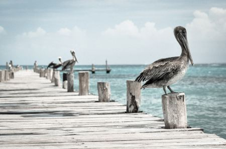 Free Pelicans on the pier