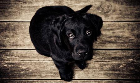 Free Black puppy