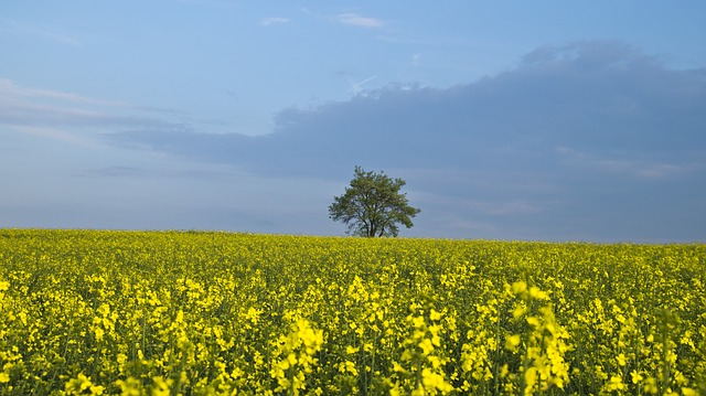 Free tree oilseed rape yellow sky plant agriculture