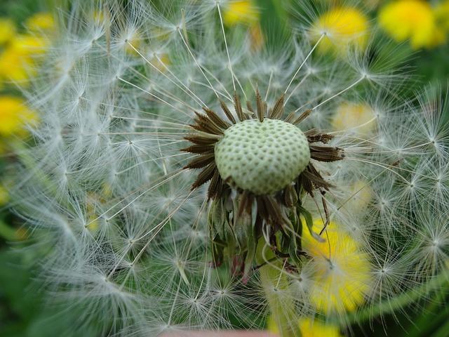 Free daisy dandelion summer flower plant spring meadow