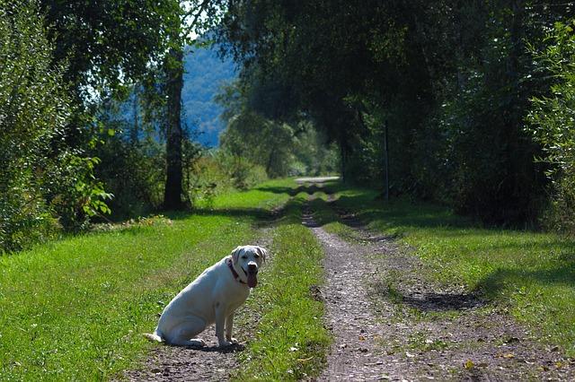 Free dog labrador animal white