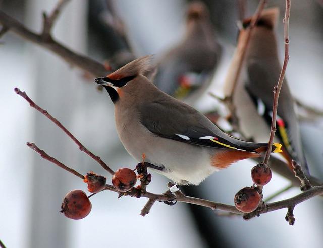 Free bird birds ringed bohemian waxwing finland nature