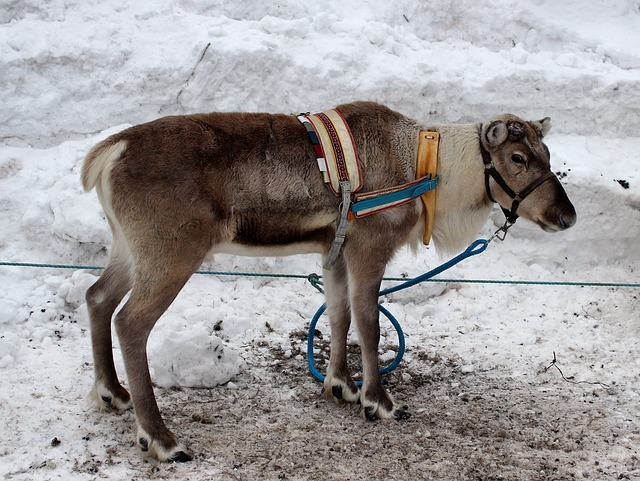 Free Photos: Finland reindeer animal winter snow outside | David Mark
