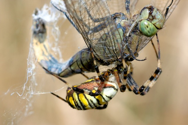 Free dragonfly spider wasp spider network fight caught