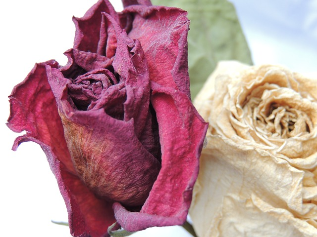 Free rose red rose flower purity