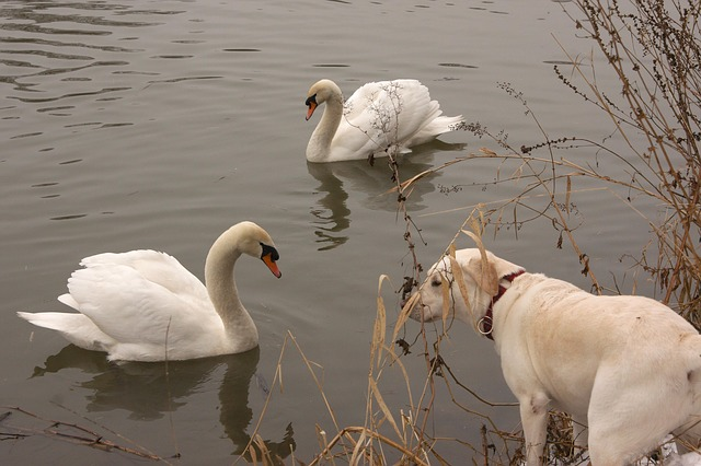 Free river swan dog pets water encounter labrador