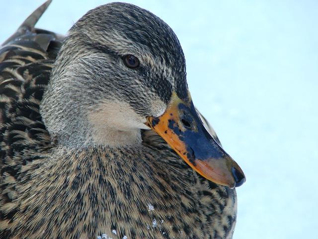 Free duck ducks water water bird winter bill cold