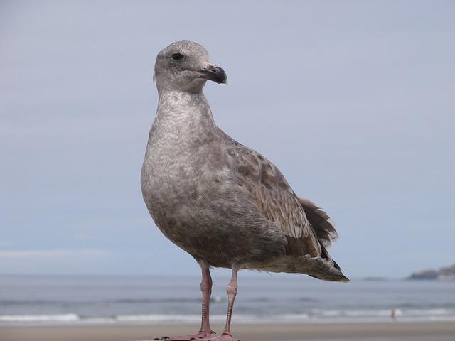 Free seabird beach seabirds sand oregon seashore
