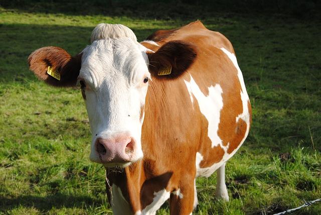 Free cow animal pasture