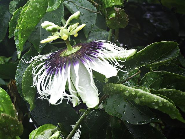 Free passion flower flower passiflora