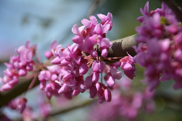 Free redbud tree nature flowers blooming bloom plants