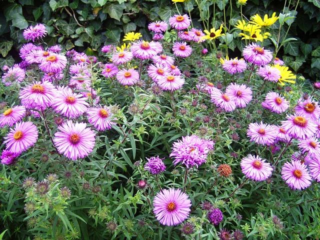 Free autumn aster pink