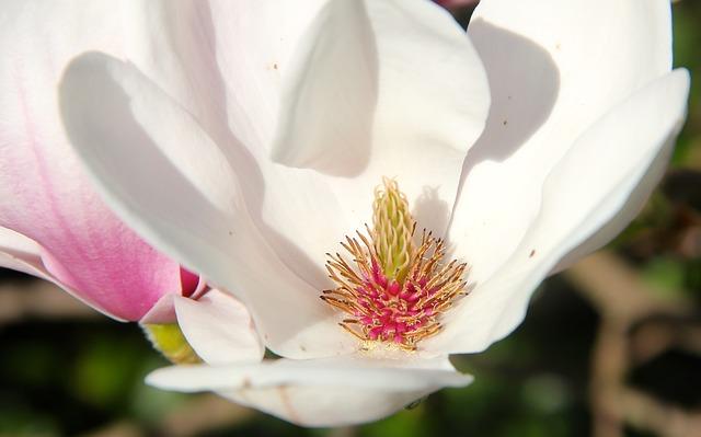 Free magnolia tulip magnolia flower spring nature plant