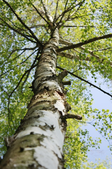 Free birch tree las trees green plant landscape