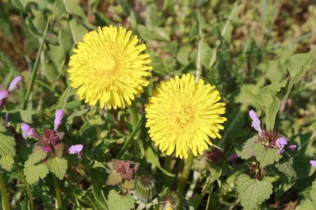 Free sonchus oleraceus weed medicinal plants herbs