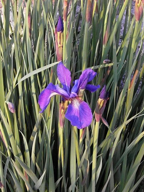 Free iris early summer flowers purple flowers purple