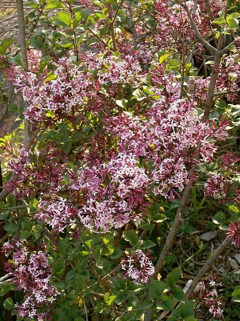 Free lilac purple flowers purple oleaceae shrub