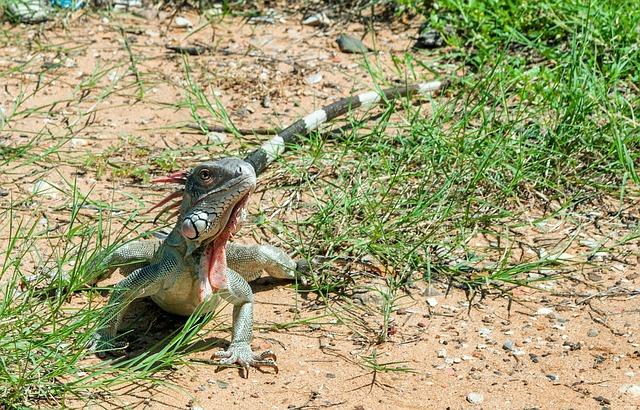 Free green iguana reptile lizard venezuela nature
