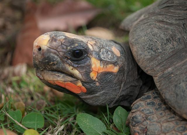 Free morrocoy turtle nature outside macro close-up