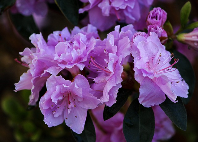 Free purple azaleas blossoms flowers shrub evergreen