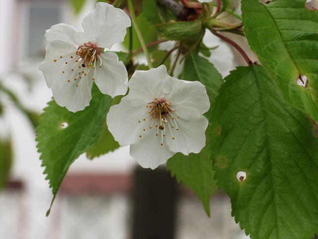 Free ornamental cherry flowers white close spring