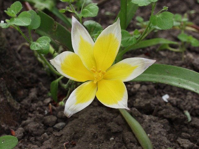 Free wild tulip flower yellow white spring nature plant