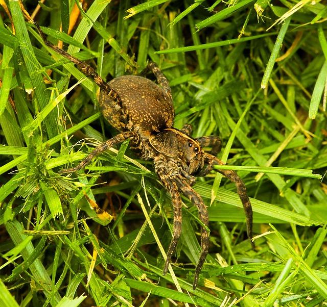 Free wolf spider lycosdae arachnid spider