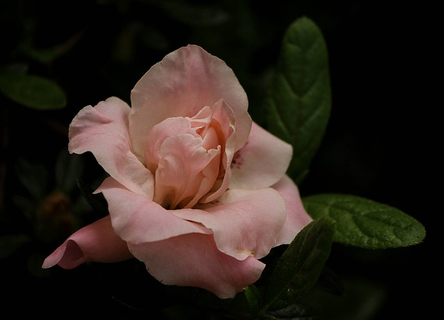 Free pink azalea flower bud blossom