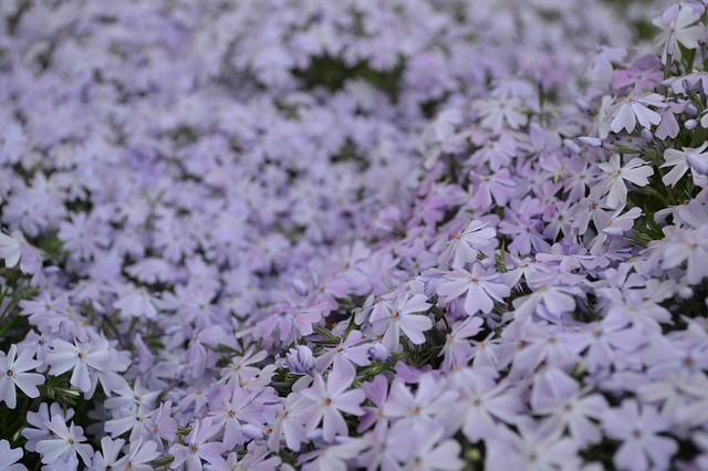 Free garden flower gardening flora flowers purple