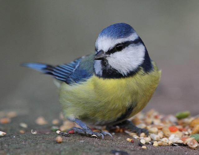 Free blue tit bird hungry blue tit