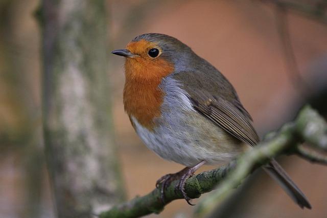 Free robin bird nature