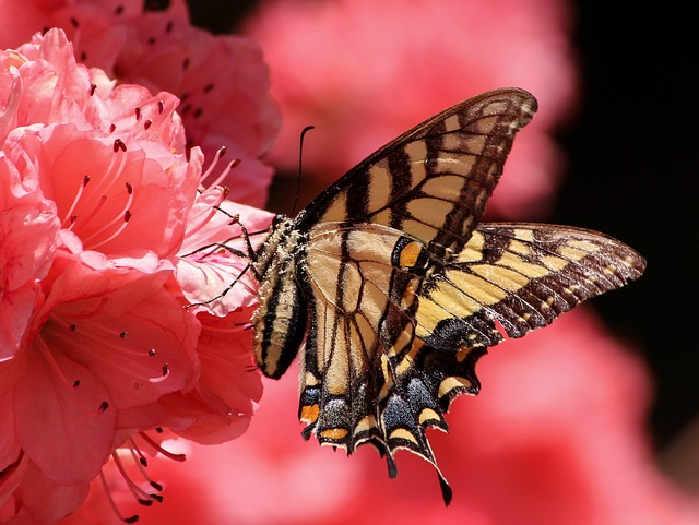 Free                butterfly flying insect old world swallowtail pollen