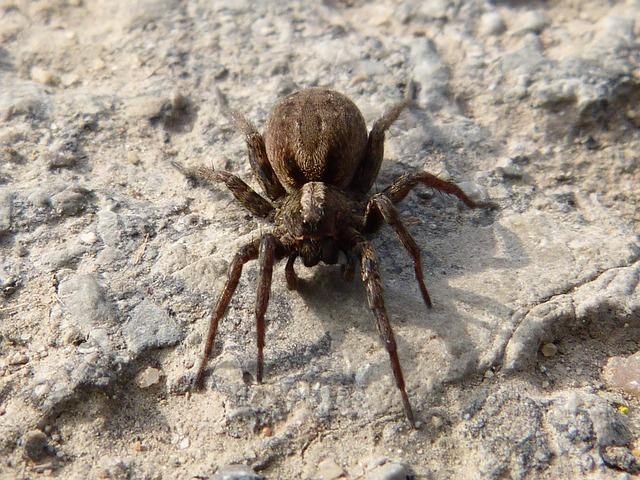 Free spider arachne predator eyes